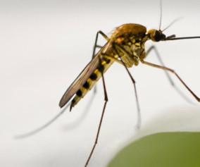 West-Nile-Virus-P5